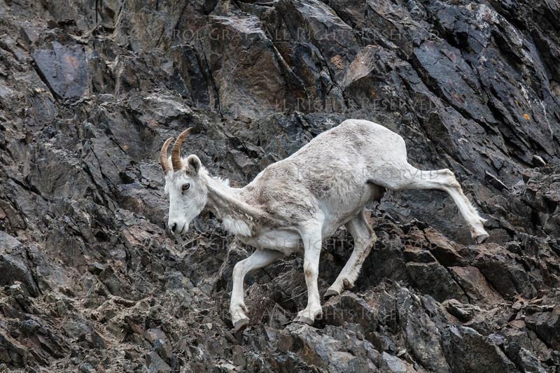 Dall sheep Alaska