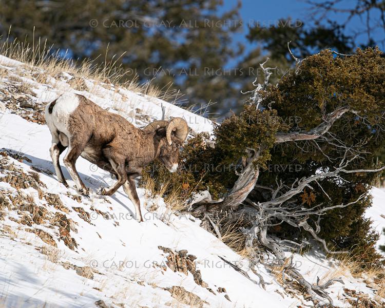 Bighorn Sheep, Yellowstone January 2020
