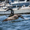Brown Pelicans La Jolla