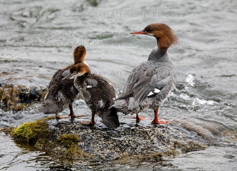 Common Merganzer  Ducks