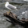 Sea Gulls Brooks Falls Alaska
