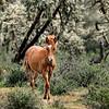 Wild Horses Lower Salt River