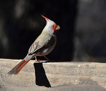 Cardinal native to Arizona (Pyrrhuloxia)