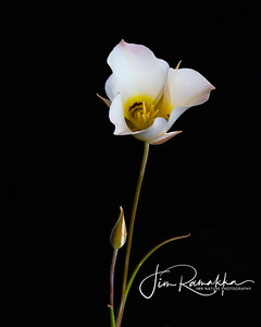 Sego Lily 2