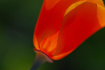 Caifornia Poppy (Eschscholzia californica)