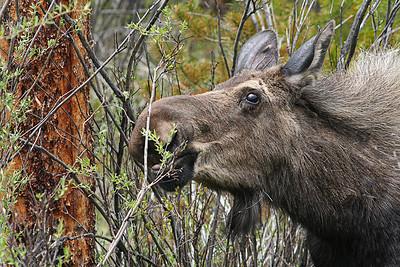 Moose - SpringM