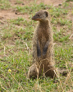Watch guard, Banded mongoose