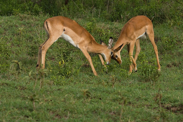 Impalas play-fighting