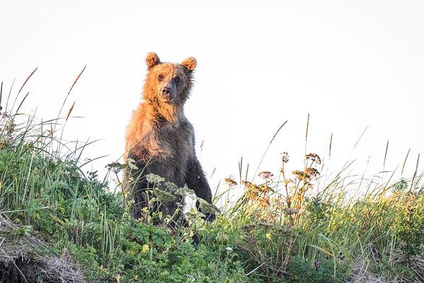 Juvenile coastal brown bear.