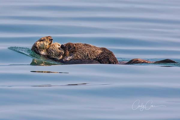 Sea otter cradles her pup
