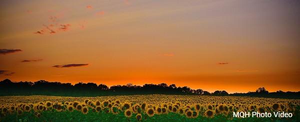 Sunflower Sunset Panorama