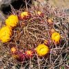 Spring Cactus Blooms