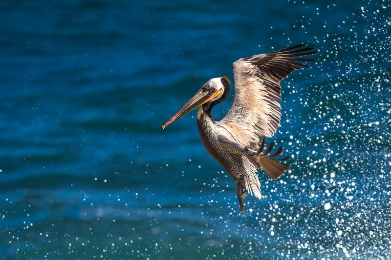 @birds.nature @lajolla.ca @lajolla.com @SDLife #SanDiego_CA #birds_adored #Wildlife #Pelican #LaJolla #LaJollaCove #California #Mornings #PicOfDay #Birds #Photography #CanonUSA #BirdWatching