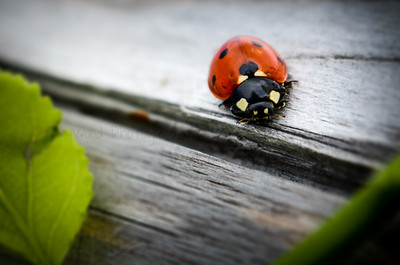 Ladybug on the Edge