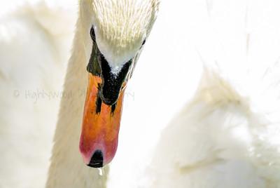Swan Beak