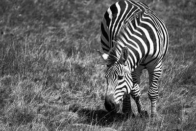 Then, Along Comes a Zebra