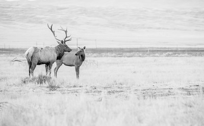 Two Tule Elk On the Edge of Forever