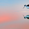 Sunset Avocet