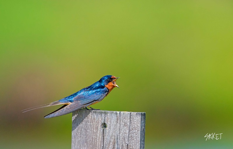 Call of barn swallow