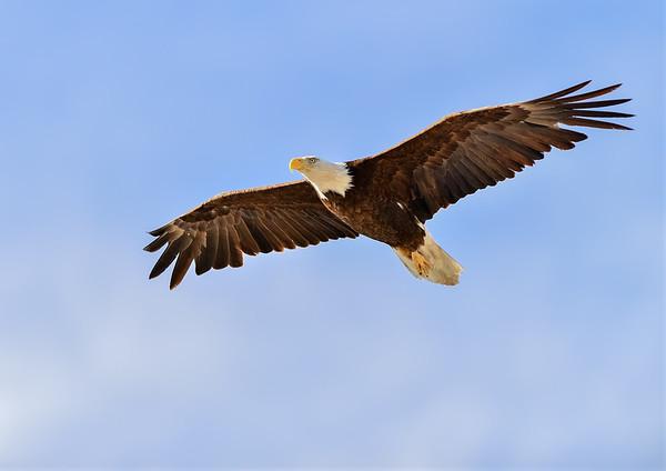Bald Eagle Wings