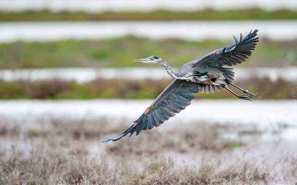 Blue Heron Wingspan