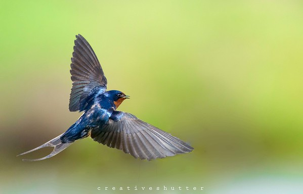 Barn swallow flight