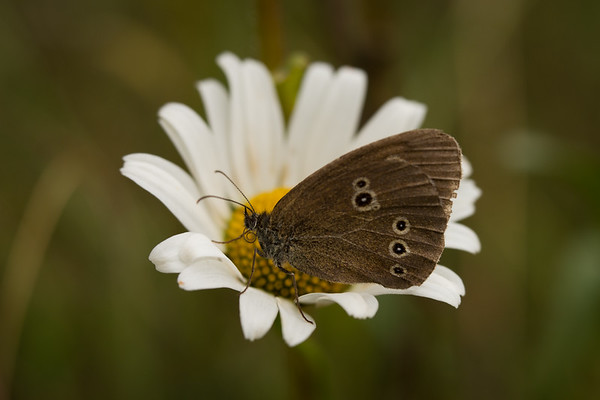 Ringlet on a daisy