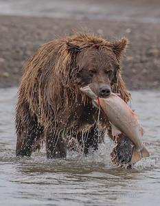 AK Brown Bear with Fish