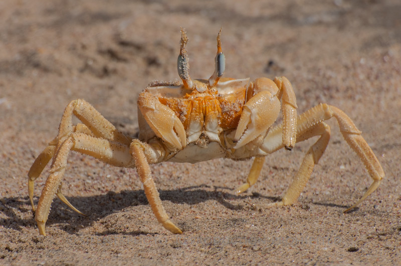 Beach Crab - Skeleton Coast, Namibiia