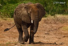 Queen Elizabeth Elephant...<br /> <br /> On our boat ride through the Kasinga Channel in Queen Elizabeth National Game Reserve, this big guy ran alongside our boat for a while before stopping to take a drink of water. Wild Bush Elephants are such huge creatures and just amazing to watch in the wild. The biggest ever recorded was a bull that weighed 10 tonnes and stood 4 meters at the shoulder