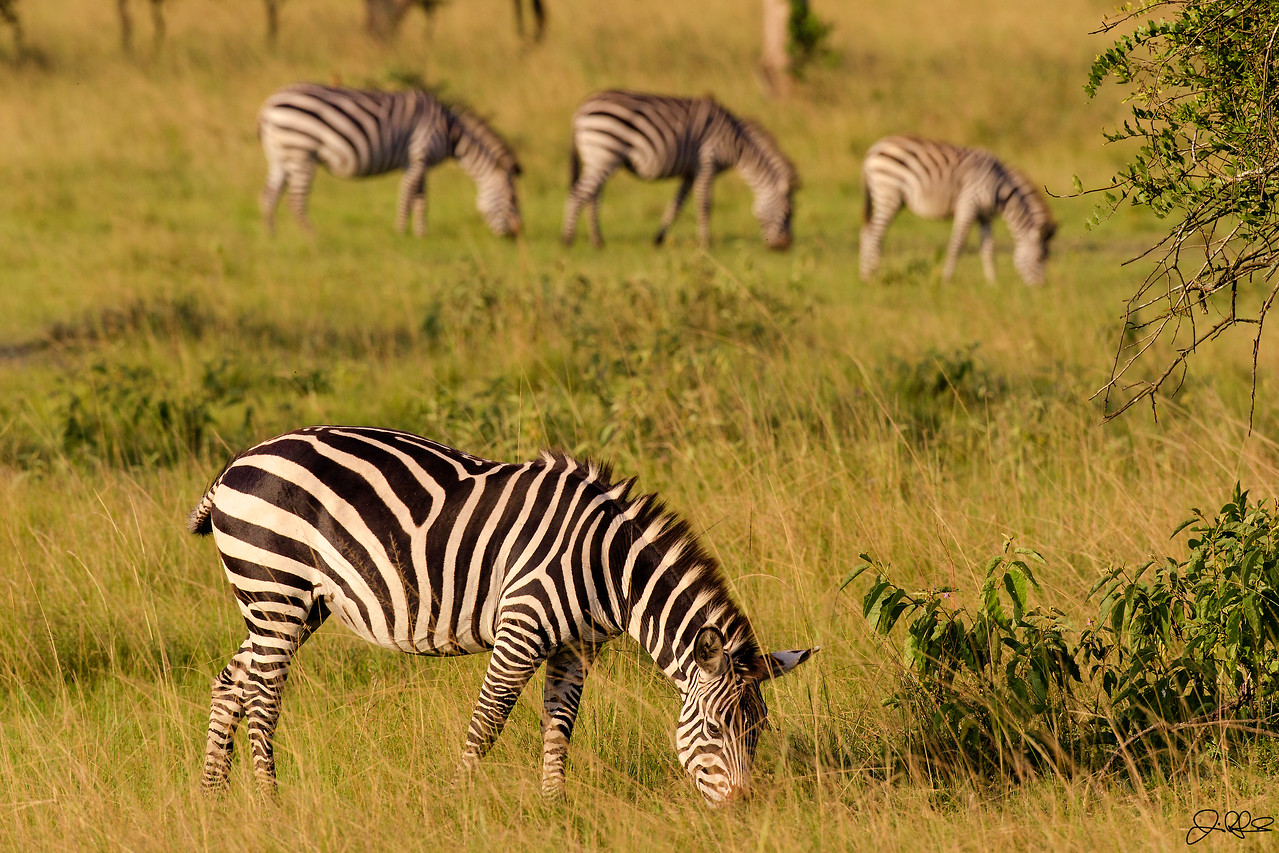 Lake Mburo Zebras...<br /> <br /> Upon our arrival in Lake Mburo National Park in Uganda, Africa, we were immediately greeted by tons of Zebras. They were everywhere in this expansive park that is located on the boarder of Uganda and Tanzania. Lake Mburo lies in a rain shadow between Lake Victoria and the Rwenzori Mountains and subsequently receives an average of 800 mm of rain a year. Zebras consist of several species of African equids united by their distinctive black and white stripes, which come in different patterns that are unique to each individual. They are generally social animals that live in small harems to large herds. Unlike their closest relatives, horses and asses, zebras have never been truly domesticated due to the zebra's more unpredictable nature and tendency to panic under stress. Have you ever wondered if a Zebra is white colored with black stripes? Or black colored with white stripes? Well genetic research now shows that the Zebras background color is black and the white stripes and bellies are additions. It is likely that the stripes are caused by a combination of factors including:<br /> <br /> 1. The vertical striping may help the zebra hide in grass. While seeming absurd at first glance, considering that grass is neither white nor black, it is supposed to be effective against the zebra's main predator, the lion, which is color blind.<br /> <br /> 2. Another hypothesis is that since zebras are herd animals, the stripes may help to confuse predators—a number of zebras standing or moving close together may appear as one large animal, making it more difficult for the lion to pick out any single zebra to attack.<br /> <br /> 3. It has been suggested that the stripes serve as visual cues and identification. Although each striping pattern is unique to each individual, it is not known whether zebras can recognize one another by their stripes.<br /> <br /> 4. At least two experiments indicate that the disruptive colouration is an effective means of confusing the visual system of tsetse flies.