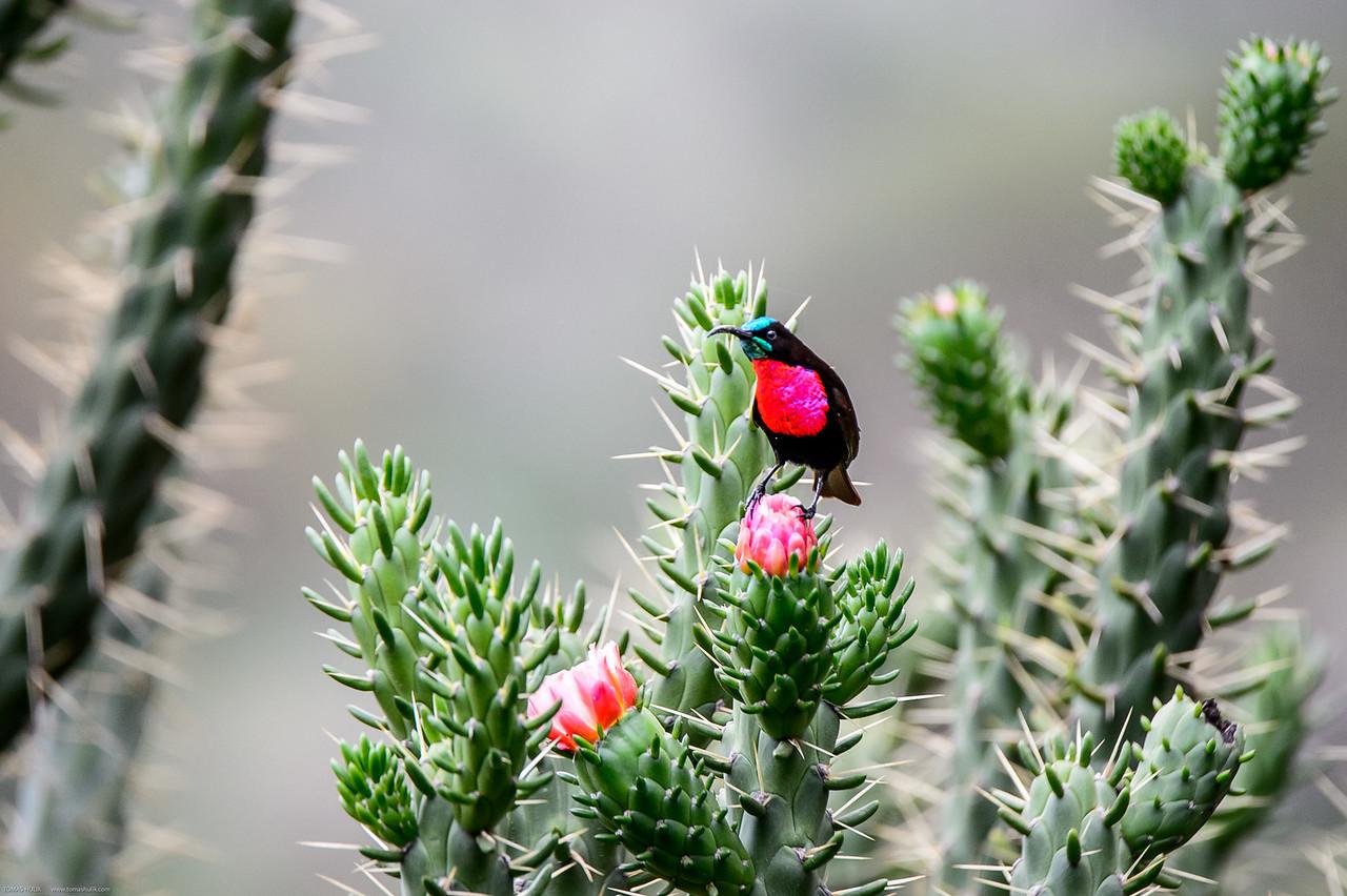 Scarlet-chested sunbird, Nectarinia senegalensis lamperti
