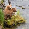 Alaska Peninsula Brown Bear
