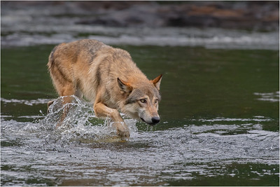 Wolf on Kettle River -Minnesota Wildlife Connections