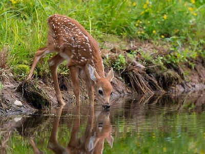 Deer -Minnesota Wildlife Connections