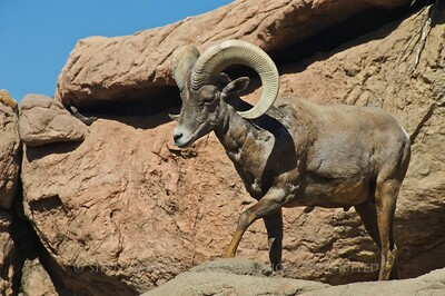 Big Horn Sheep, Sonora Desert Museum