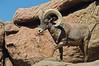 Big Horn Sheep, Sonora Desert Museum