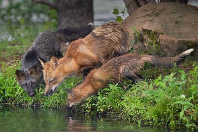 Red Foxes -Minnesota Wildlife Connections