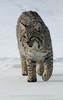 Bobcat - Animals of Montana