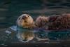 Otters - Kachemak Bay, -Homer, AK