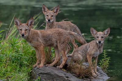Coyote Pups - Minnesota Wildlife Connections
