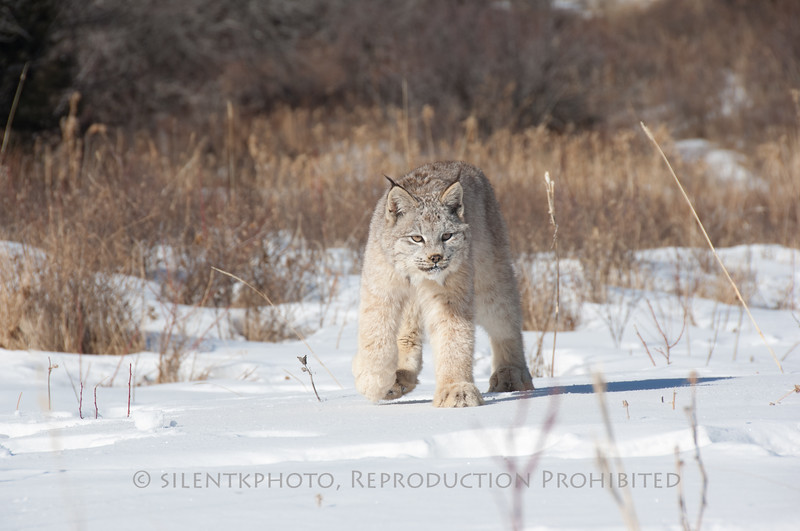 Lynx - Animals of Montana.