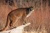 Mountain Lion (captive) - Animals of Montana.