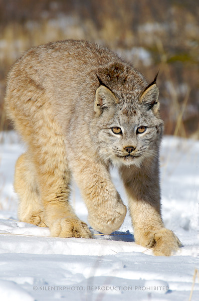 Lynx - Animals of Montana