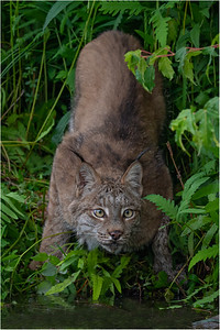 Canadian Lynx -Minnesota Wildlife Connections