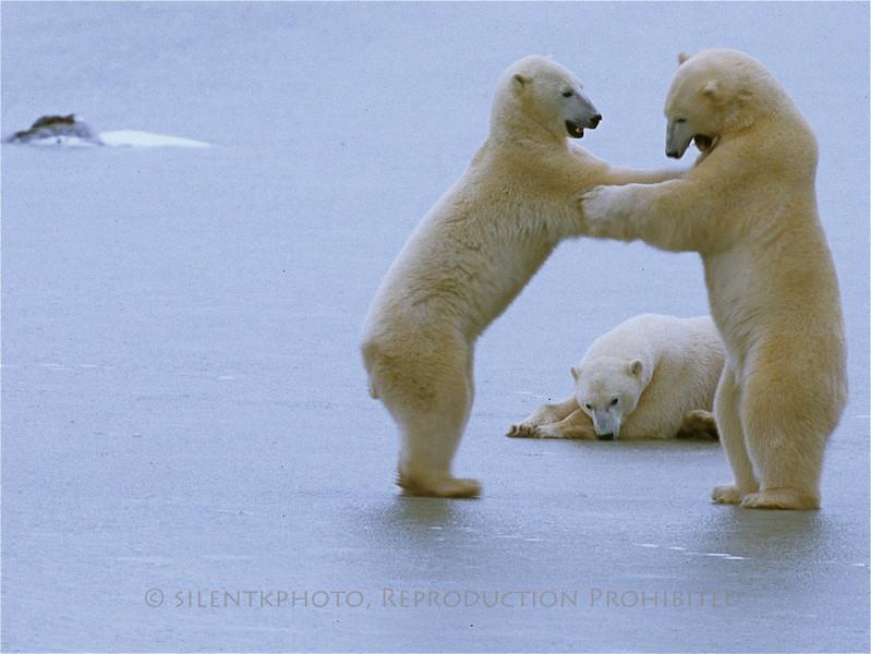 """Ice Waltz"" - Polar Bears on ice - Churchill, CN.  HM Award 2010 27th International Ridgewood Camera Contest - Nature Open Category"