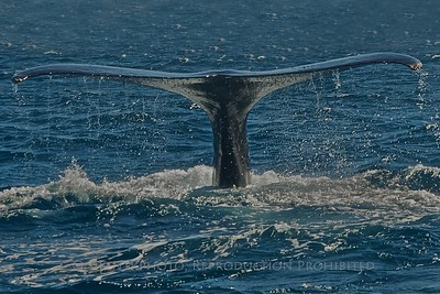 Tail of the Whale - Humpback dives deep at Los Cabos