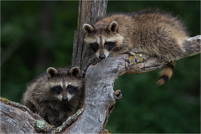 Racoons - Minnesota Wildlife Connections