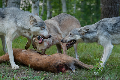Wolves on Deer Carcass - Minnesota Wildlife Connections