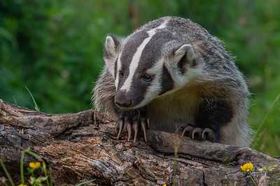 Badger - Minnesota Wildlife Connections
